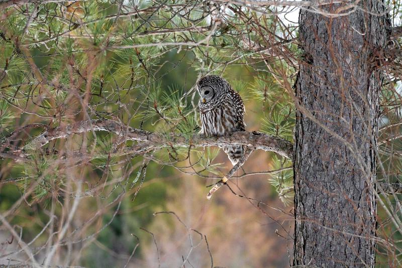 Barred Owl hunting Yellow-bellied Bog Peary Road Sax-Zim Bog MN IMG_0241.jpg