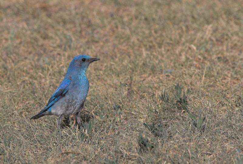 Western Bluebird, Badlands National Park