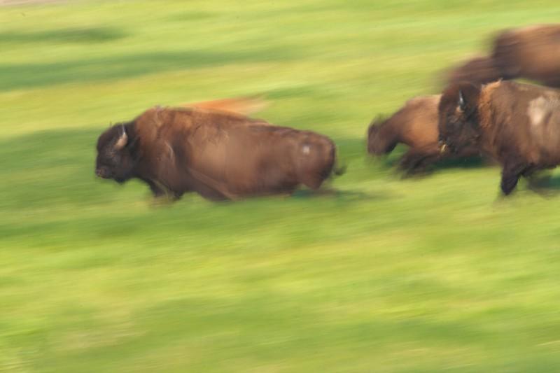 Bison run blur Blue Mounds State Park Luverne MN _MG_5157.jpg