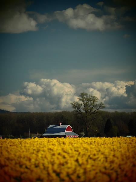 Tulips26.jpg