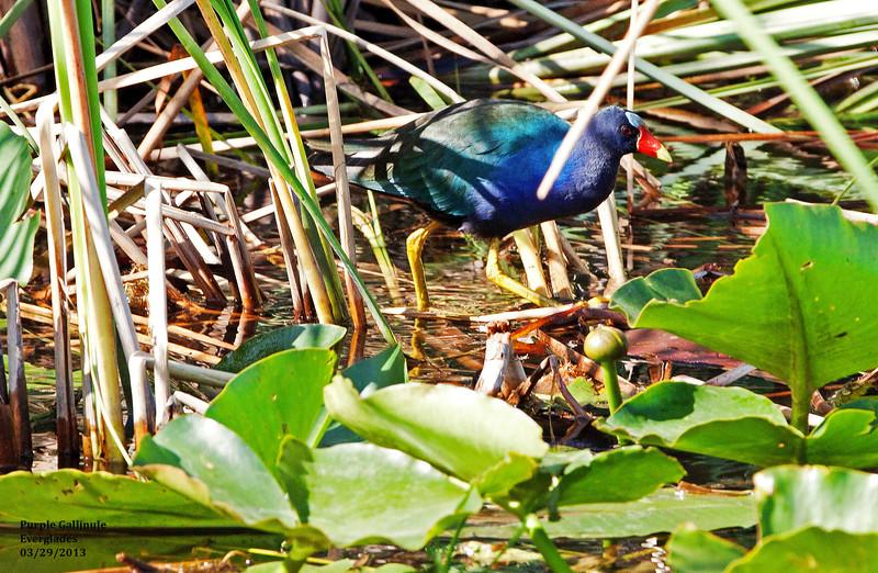 bIMG_4976 T Purple Gallinule, Evrglads n of park 2.jpg