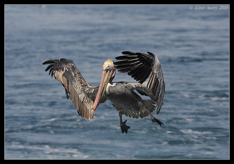 Brown Pelican ready to land, Oceanside Pelagic Trip, San Diego County, California, January 2010