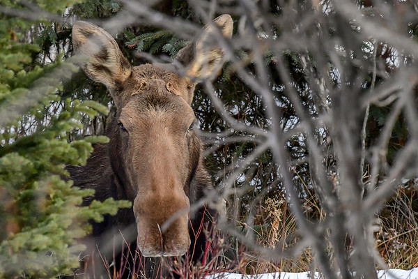 11-15-18 Cow Moose