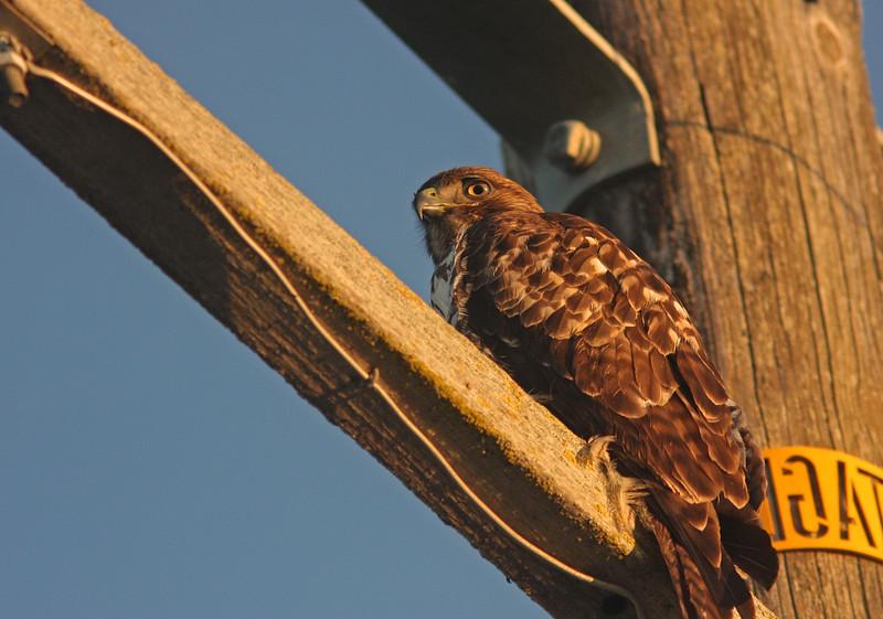 WB~Red-Tailed Hawk on pole1280.jpg