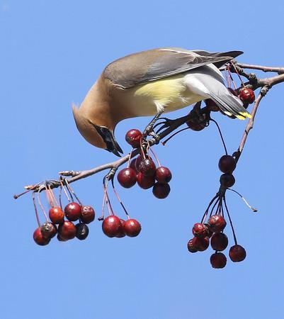 Songbirds, warblers, ect