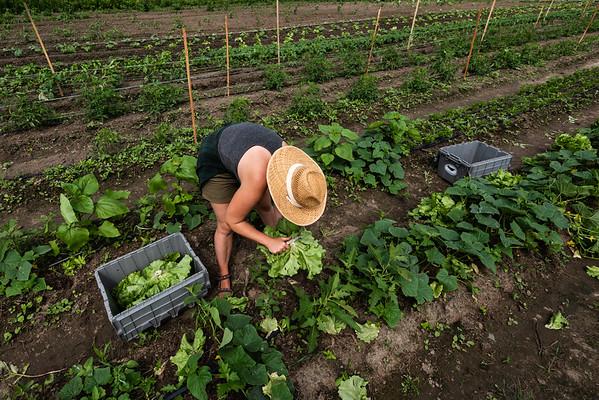 07-08--20-Lettuce Harvest