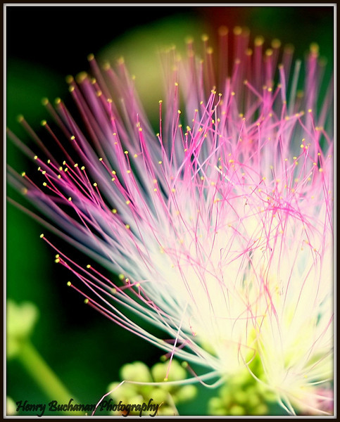 Albizia juhibrissin Pink Silk Tree