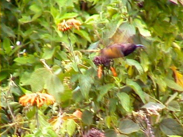 Cinnamon Sunbird_0136