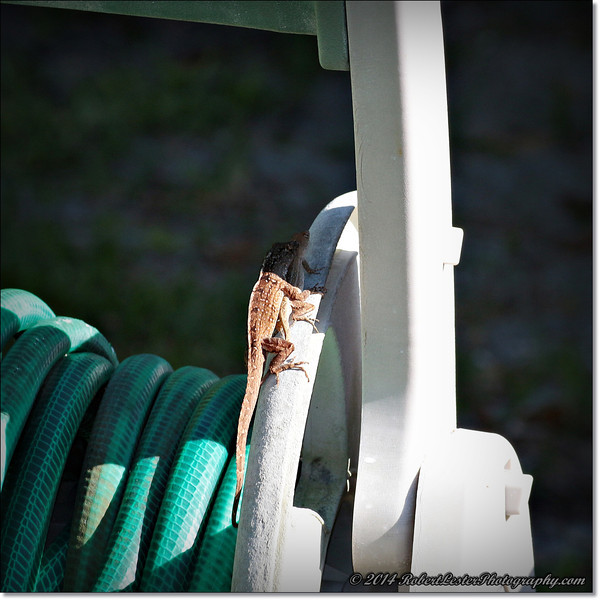 2014-06-06_IMG_0839__Anole Lizard,Clearwater,Fl..JPG