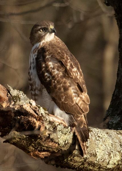 Broadwing Hawk