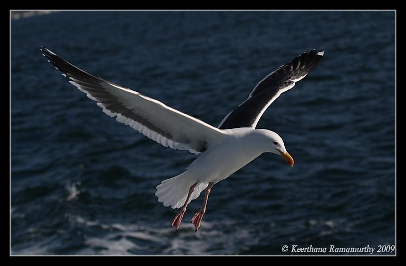Western Gull, Pelagic Trip Pacific Ocean, San Diego County, California, March 2009