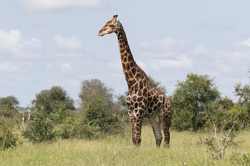 Giraffe 1703011129.jpg