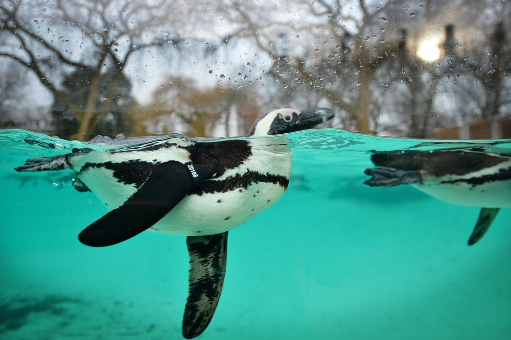 Description of . Penguins swim during the annual stocktake at ZSL London Zoo in central London on January 3, 2013. ZSL London Zoo embarked on January 3 on their annual complete head-count of every animal at the zoo, which houses over 17,000 animals. BEN STANSALL/AFP/Getty Images