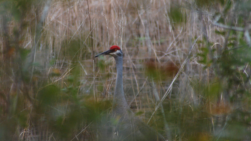 Sandhill crane at Lake Proctor Wilderness