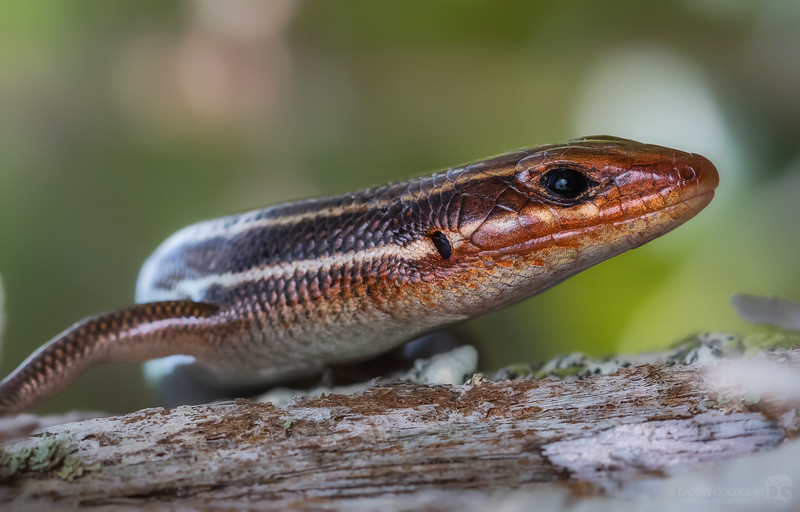 Male five lined skink