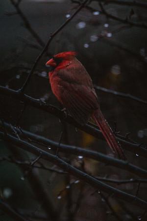 2016-11-23 - Cardinal