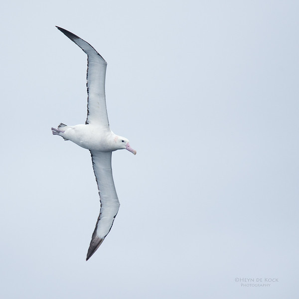 Antipodean Albatross, Eaglehawk Neck Pelagic, TAS, Sept 2016-9.jpg