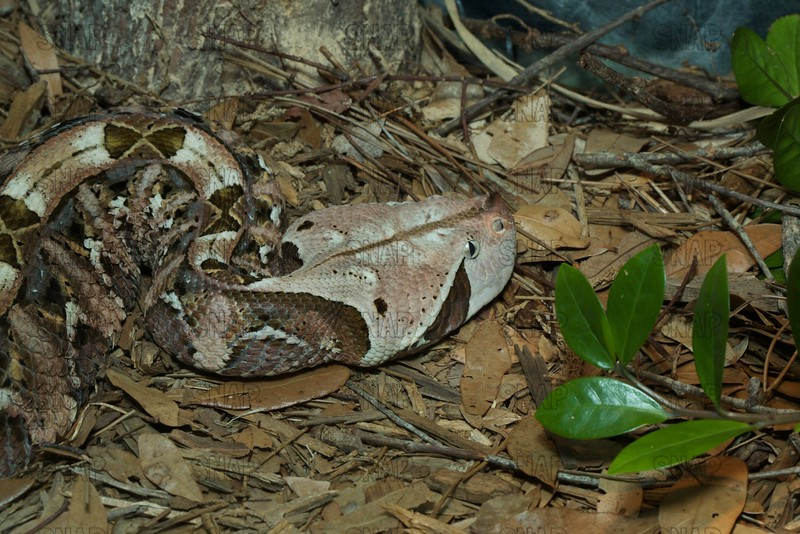 West African Gaboon Viper