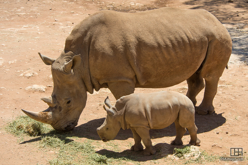 Young White Rhinoceros calf