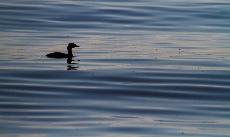 Horned Grebe Lake Superior Park Point Minnesota Point Duluth MN -0197.jpg