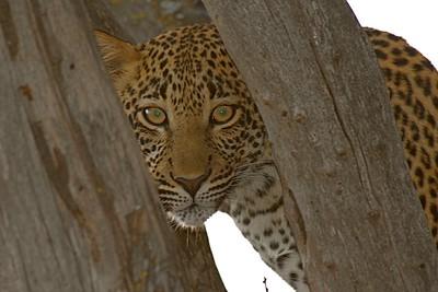 8-20-2016 African Kitty Kats