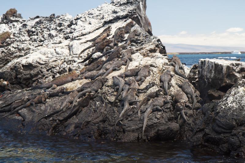 Marine Iguanas at Punta Moreno, Galapagos, Ecuador (11-23-2011) - 706.jpg