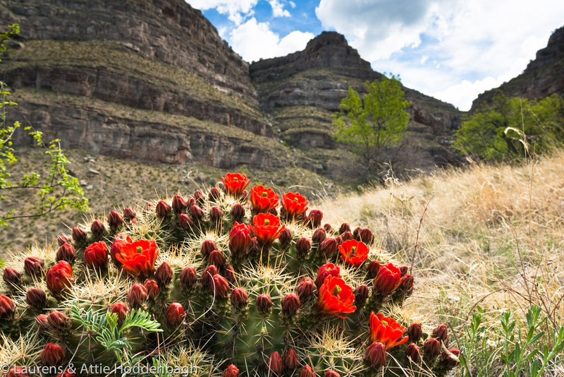 Blooming Cactus in Oliver Lee Mem. SP