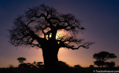 Baobab sunset, Tarangire National Park