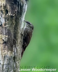 Lesser Woodcreeper, State Atlantic Rainforest Park Ubatuba, Brazil