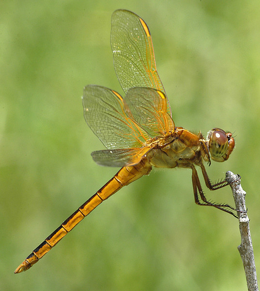 Libellula needhami (Needham's Skimmer), FL - male
