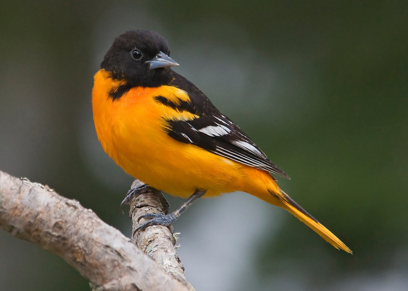 Oriole - Baltimore - male - Dunning Lake, MN - 06