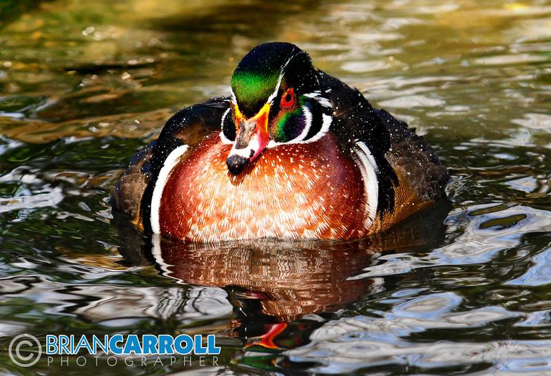 Wood Duck MMG.jpg