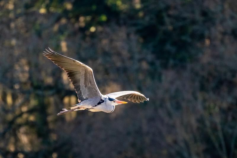 Grey Heron - Ardea cinerea-7.jpg