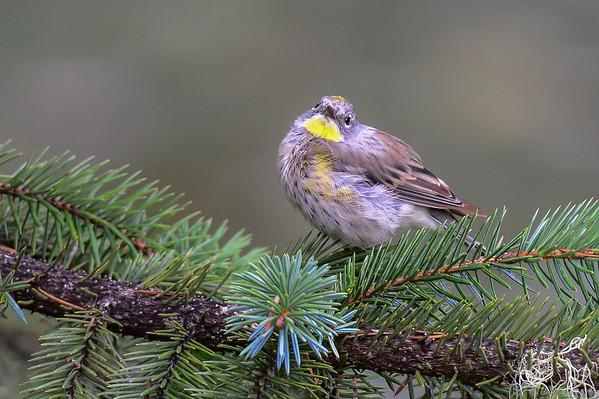 8-10-15 Yellow-rumped Warbler (Audubon's)