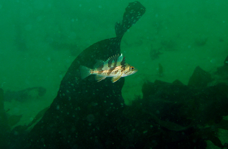 A juvenile Calico Rockfish on the sandy bottom off of Ellwood, CA