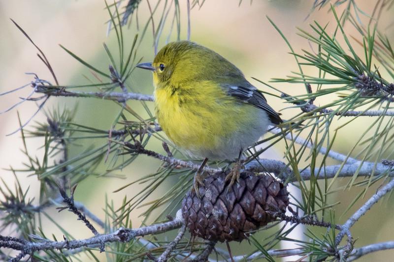 Pine Warbler Gulf Coast 2020-1.jpg