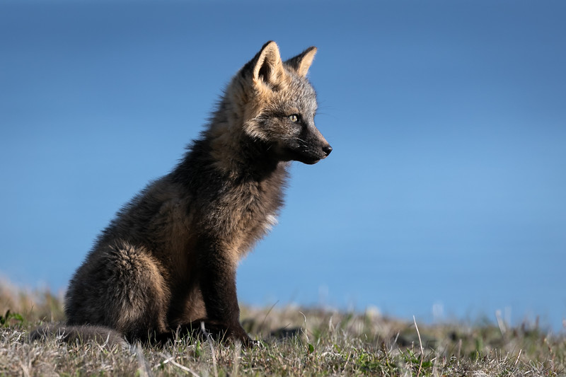 arctic fox sitting in sunlight -3659.jpg