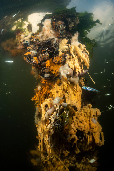 In The Netherlands we have Arborek Jetties of our own. Maybe no soft corals but these sponges are just as colorful. Sea sparkle turns the water yellowish.   #underwaterphotography #techdiving #uwphotography #scuba #underwater #duiken #marinelife #diving #wreckdiving #Nikon #Nauticam #Duikspotter #traveltips #onderwatersport #Zeeland