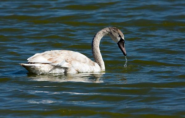 ברבורים-  Swan