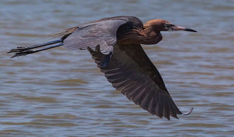 ZZReddish Egrets, Galveston, 6-7-13, 146R LTROOM, SMALL.jpg