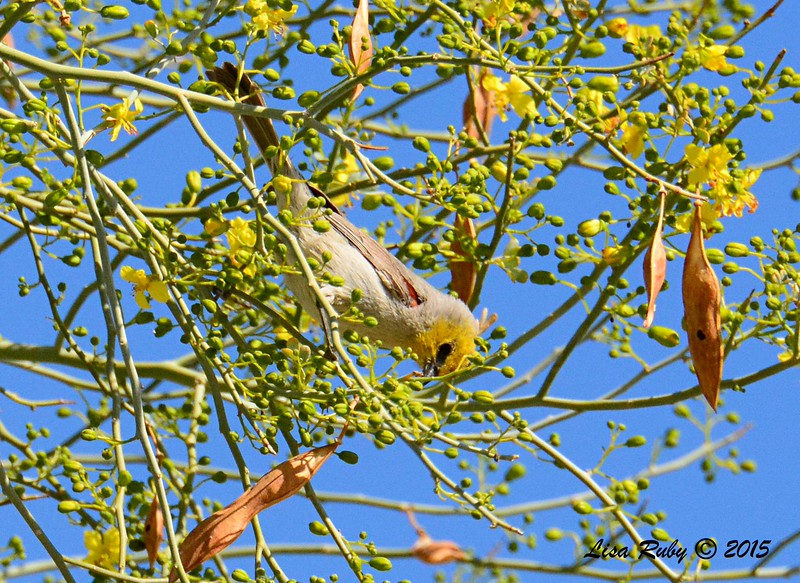 Verdin - 3/7/2015 - Borrego Springs Visitor Center