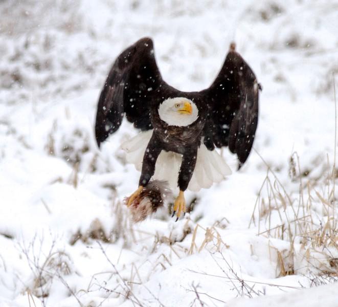 Bald Eagle at carcass CR47 Sax-Zim Bog MN IMG_8307.jpg