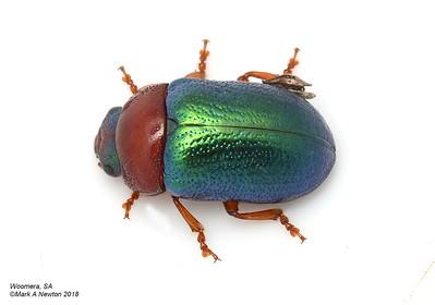 Calomela eyrei (Chrysomelinae)