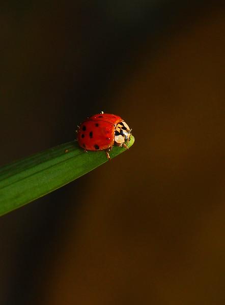 Ladybug6236.jpg