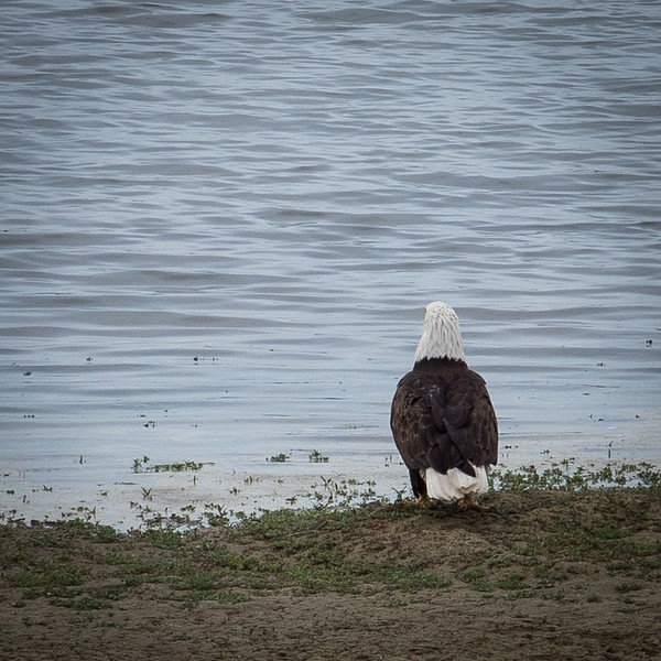 20170509-Bald Eagle-PMG_5269.jpg