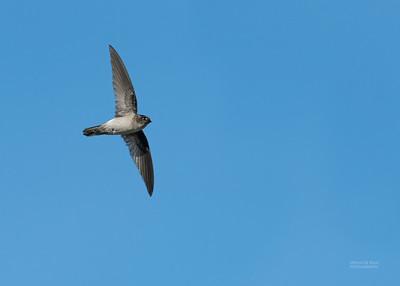 Swifts (Apodidae)