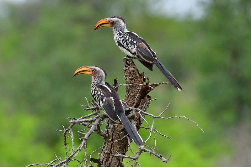 Pair of Southern Yellow - billed Hornbills