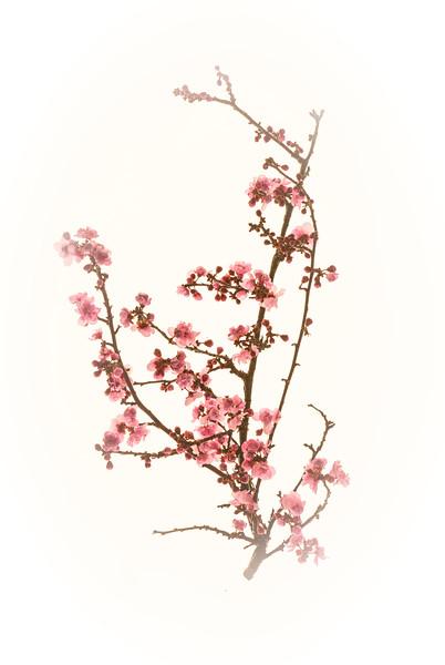 SakuraOnWhiteVignetting.jpg