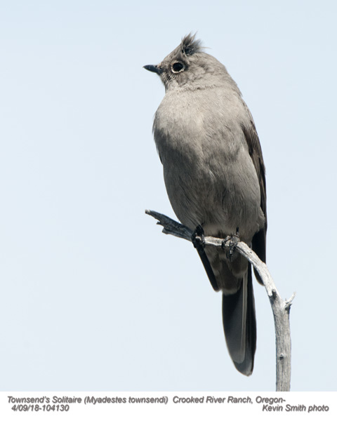 Townsend's Solitaire A104130.jpg