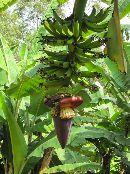 Banana flower - delicious in salads